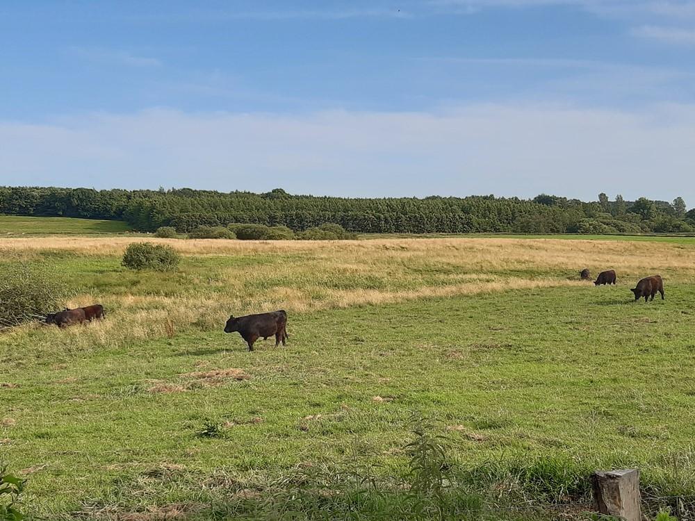 Galloways grasen in den naturbelassenen Wiesen