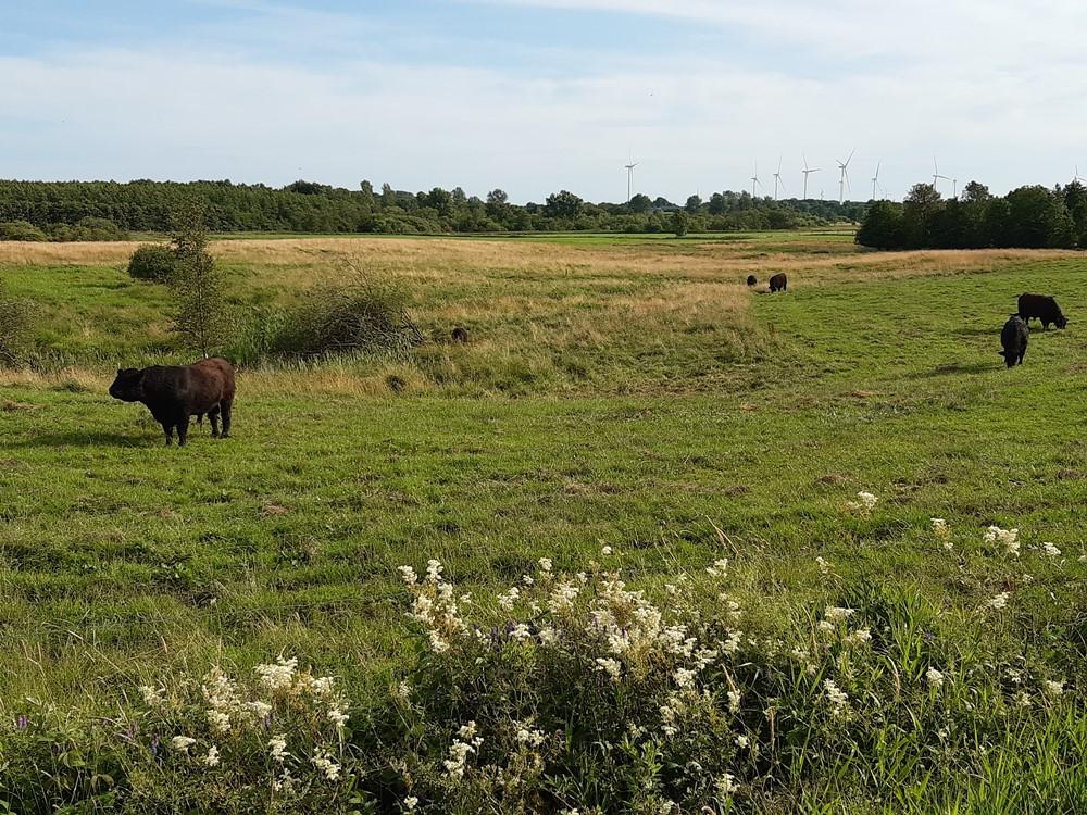 Blick über die weiten Wiesen der Galloways aus dem Oxbektal